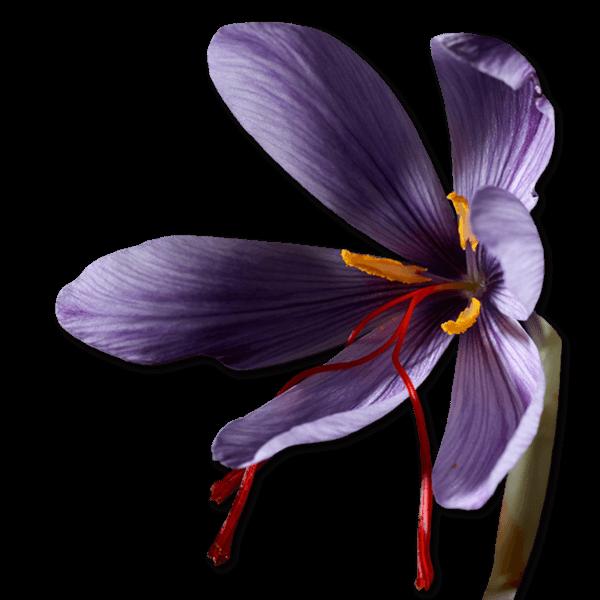 Saffron Bulb Flower 2